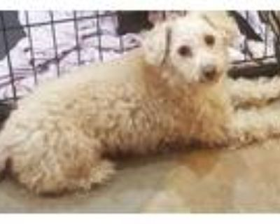 Adopt Princess a Tan/Yellow/Fawn - with White Poodle (Toy or Tea Cup) / Mixed