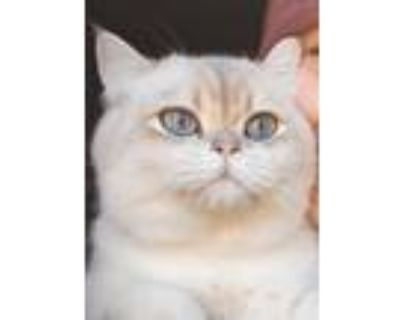 Adopt Oliver a White British Shorthair / Mixed (short coat) cat in Springfield