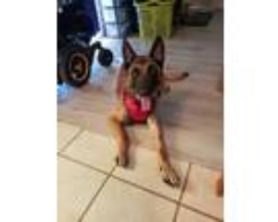 Adopt Rory a Brown/Chocolate Belgian Malinois / Mixed dog in Fort Worth