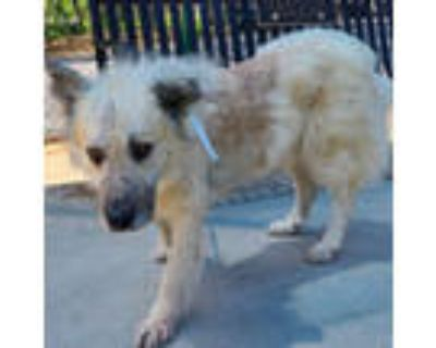Adopt Diego a Great Pyrenees