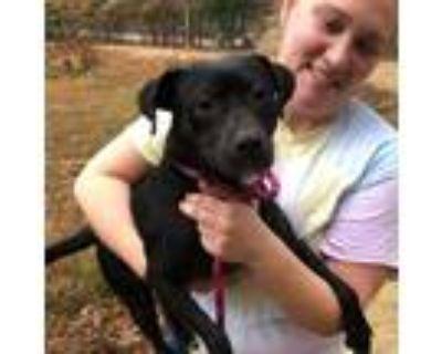 Adopt Olive a Beagle / Labrador Retriever / Mixed dog in Potomac, MD (30294692)