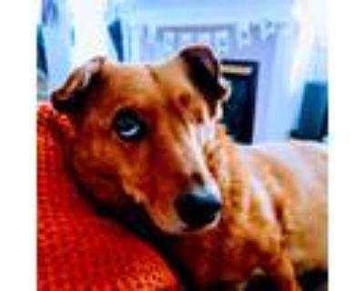 Adopt Sherman P. von Woofwoofstien a Red/Golden/Orange/Chestnut Corgi /