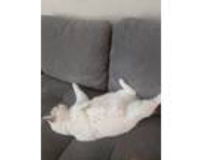Adopt Corina a White (Mostly) American Shorthair / Mixed (short coat) cat in