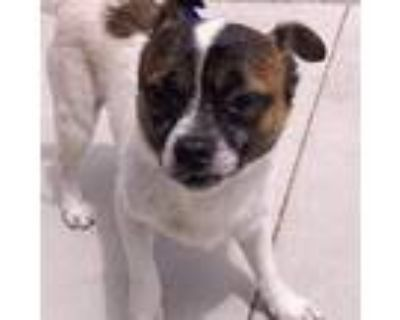 Adopt Bernie a White - with Tan, Yellow or Fawn Pug / Jack Russell Terrier /