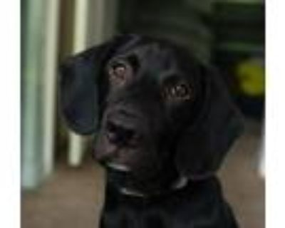 Adopt Zeus a Black Labrador Retriever / Border Collie / Mixed dog in Atlanta