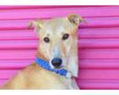 Adopt Perry a Tan/Yellow/Fawn Labrador Retriever / Shepherd (Unknown Type) /