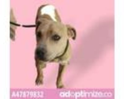 Adopt 47879832 a Pit Bull Terrier, Mixed Breed