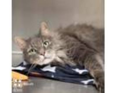 Adopt Bandit a Gray, Blue or Silver Tabby Maine Coon (long coat) cat in