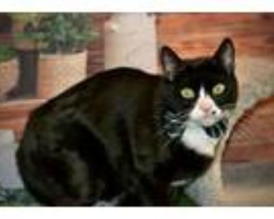 Adopt Walt Whiskers a Domestic Short Hair