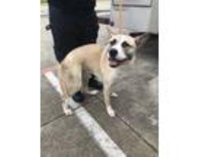 Adopt 47824527 a Tan/Yellow/Fawn Akita / American Pit Bull Terrier / Mixed dog