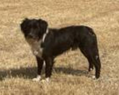 Adopt *BANDIT a Black - with White Border Collie / Mixed dog in Modesto
