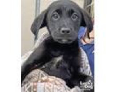 Adopt Darwin a Black - with White Shepherd (Unknown Type) / Mixed dog in