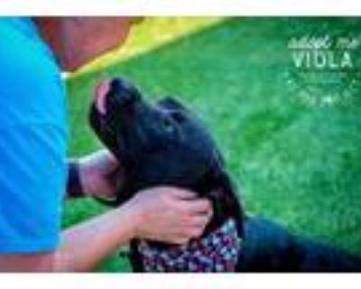 Adopt Viola a Black Labrador Retriever / Mixed dog in Kansas City, MO (31535843)