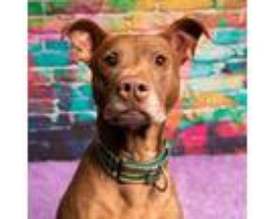 Adopt Duke Buster Groove a Brown/Chocolate Pit Bull Terrier / Labrador Retriever