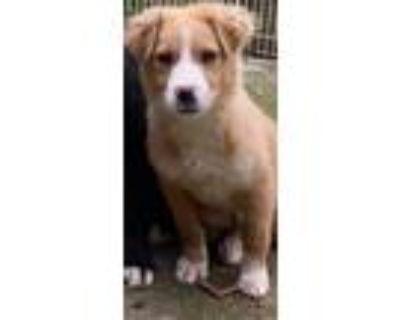 Adopt Sadie a Border Collie, Australian Shepherd