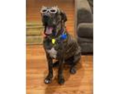 Adopt Picasso a Brindle Mastiff / Mixed dog in Downey, CA (30803995)