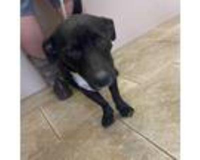 Adopt Lucky a Black Welsh Corgi / Labrador Retriever / Mixed dog in Galveston