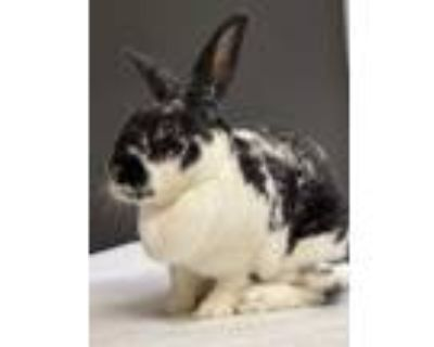 Adopt Ziggy a White American / American / Mixed rabbit in Dayton, OH (31247209)