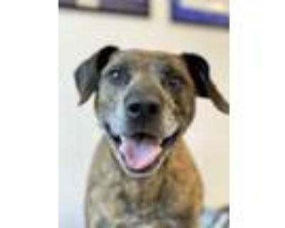 Adopt Barracuda a Brown/Chocolate Labrador Retriever / Great Dane / Mixed dog in