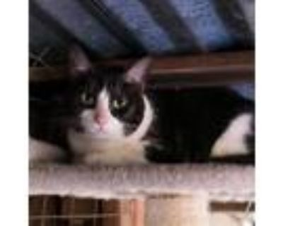 Adopt Lily a Black & White or Tuxedo American Shorthair / Mixed (short coat) cat