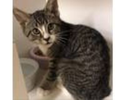 Adopt Dodger a Brown or Chocolate Domestic Shorthair / Mixed cat in Blasdell