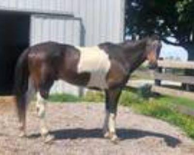 Adopt Wolfie a Buckskin Paint/Pinto / Grade / Mixed horse in Louisville