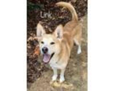 Adopt Link a Siberian Husky / Labrador Retriever dog in Atlanta, GA (30702894)