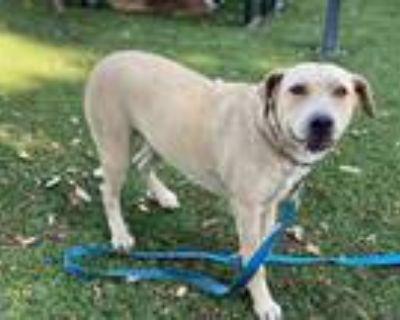 Adopt WILLA a Tan/Yellow/Fawn Labrador Retriever / Mixed dog in Downey