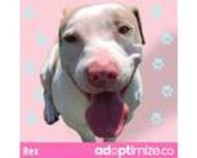 Adopt REX a White - with Gray or Silver American Pit Bull Terrier / Mixed dog in