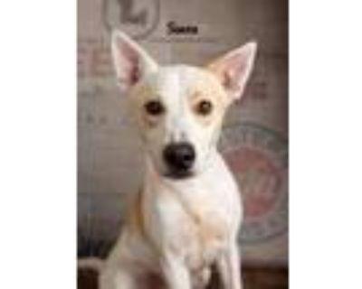 Adopt Simon a Australian Cattle Dog / Blue Heeler