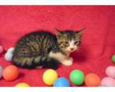 Adopt RATCHET a Brown Tabby Domestic Shorthair / Mixed (short coat) cat in
