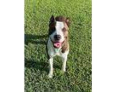 58565, Pit Bull Terrier For Adoption In Little Rock, Arkansas