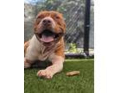 Adopt Pringle 824-21 a Pit Bull Terrier, Mixed Breed