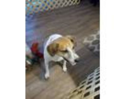 Adopt Jake a Tan/Yellow/Fawn - with White Beagle / Collie / Mixed dog in