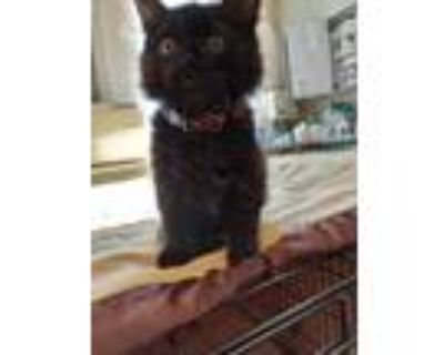 Adopt Husker a All Black Domestic Longhair / Domestic Shorthair / Mixed cat in