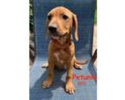 Adopt PETUNIA TALBOT- A PRISSY P PUP a Hound, Mixed Breed
