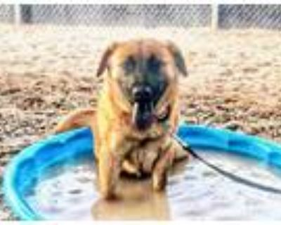 Adopt PYP* a Brown/Chocolate - with Black Chow Chow / Mixed dog in Tucson