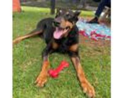 Adopt Enzo a Black Doberman Pinscher / Mixed dog in Long Beach, CA (31918106)