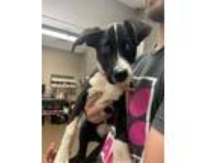 Adopt Piglet* a Black Labrador Retriever / Mixed dog in Anderson, SC (32083878)