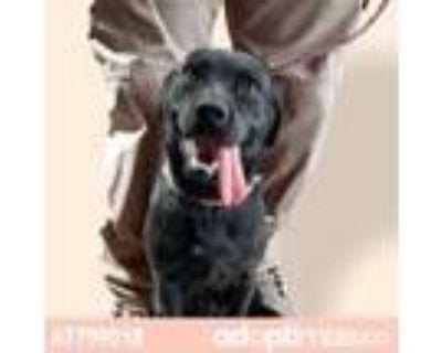 Adopt 47798323 a Black Labrador Retriever / Mixed dog in El Paso, TX (31928423)