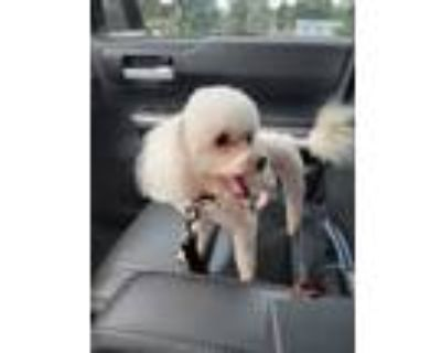 Adopt Leo a White Poodle (Toy or Tea Cup) / Mixed dog in Prince William County