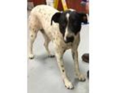 Adopt HERA a White American Pit Bull Terrier / Labrador Retriever / Mixed dog in