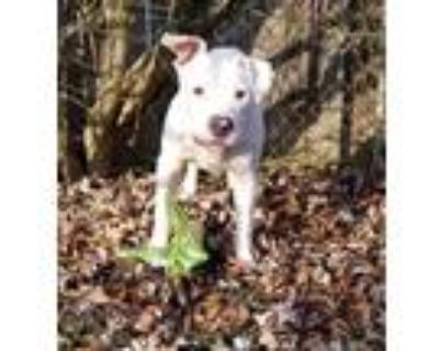 Adopt JB a White American Staffordshire Terrier / Pit Bull Terrier / Mixed dog
