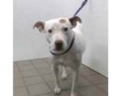 Adopt BABY GIRL a White - with Brown or Chocolate American Pit Bull Terrier /