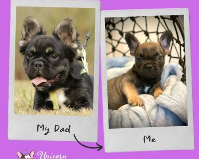 California Fluffy Carrier Frenchie Puppies