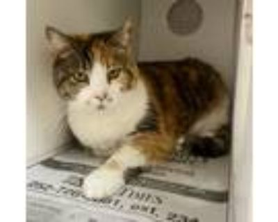 Adopt Tula a Calico or Dilute Calico Domestic Shorthair (short coat) cat in