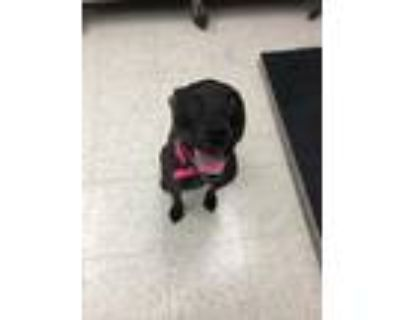 Adopt Ivy a Black American Pit Bull Terrier / Mixed dog in Xenia, OH (32116142)