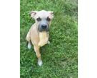 Adopt Trike a American Staffordshire Terrier, Pit Bull Terrier