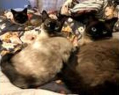 Adopt Camila a Brown or Chocolate (Mostly) Siamese / Mixed (medium coat) cat in
