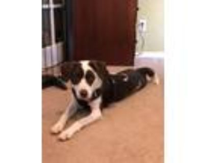 Adopt Ginny a Brown/Chocolate - with White Border Collie / Mixed dog in Colorado